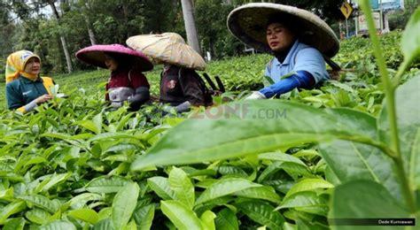Teh Ekspor nilai ekspor kian merosot kini teh indonesia siap serang