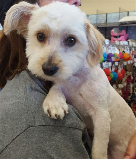 poodle mix puppies rescue maltese poodle miniature mix for adption in la costa california view ad maltipoo
