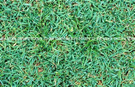 couch lawn care couch grass care 28 images lawn care tips sir walter