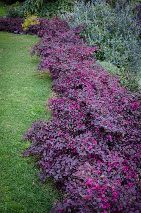 loropetalum plum gorgeous purple foliage pink