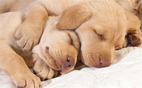 puppy dreams sweet dreams 187 the dish