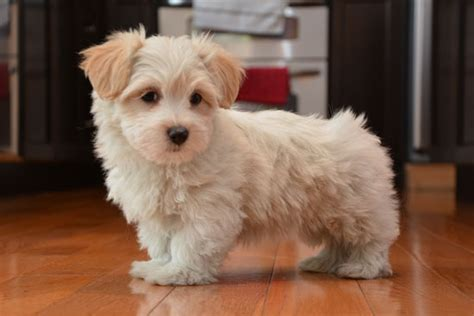 coton de tulear puppies for sale in coton de tulear puppies for sale