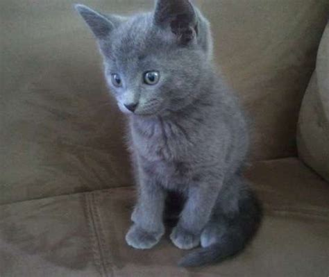 blue kittens for sale attentive russian blue kittens for adoption for sale