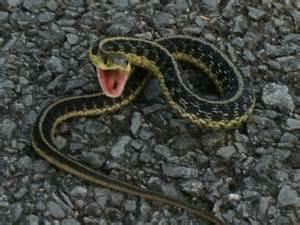 Garter Snake Upstate Ny Reptiles Animals Of Northern New York