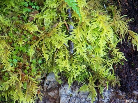 oregon beaked moss name that plant