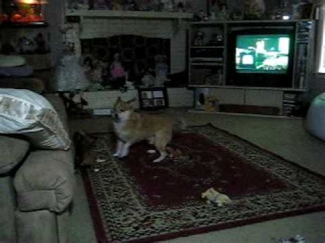 pomeranian vs terrier pomeranian feist mix vs terrier chihuahua mix