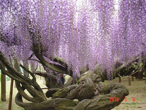 flower tunnel japan kawachi fuji gardens wisteria 2 wonderlusting