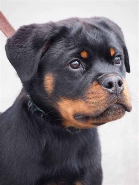 rottweiler puppies for sale in tn image gallery rottweiler puppies