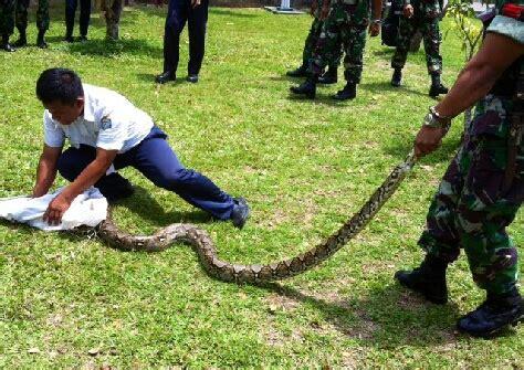 video film ular piton foto tangkap ular piton acehkita com