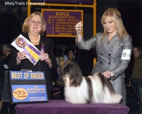 westminster show havanese havanese breed pictures 15