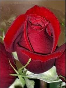 donare un fiore rosa