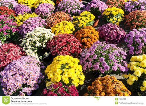 crisantemi in vaso crisantemi conservati in vaso withcolorful della priorit 224