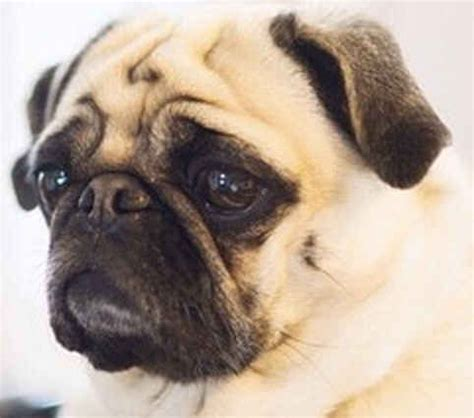 harry potter pug perro pug bebe