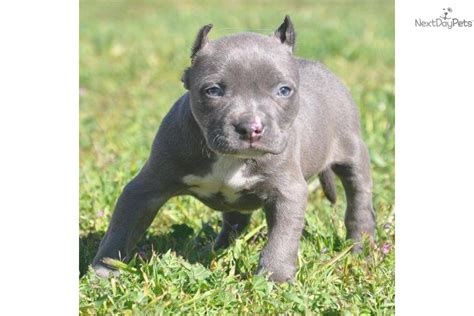 puppies for sale in prescott az puppies for sale in az breeds picture