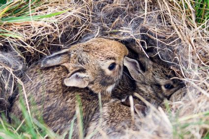 what to do with baby bunnies in backyard wild rabbits archives my house rabbit
