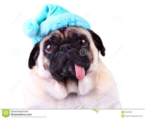 pug winter hat pug wearing a blue winter hat royalty free stock photo image 28045845