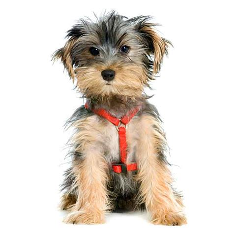 puppy names for yorkies names by breed one of a names