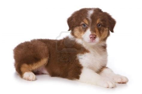brown australian shepherd puppies puppy dogs australian shepherd puppies brown