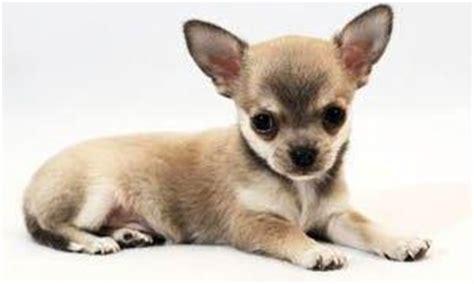 cagnolino piccolo da appartamento cani da appartamento piccola taglia le razze perfette