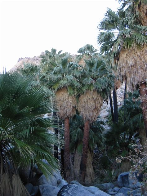 California Palm washingtonia