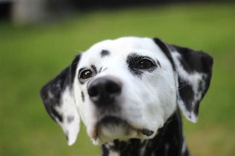 how to tell if a puppy is deaf deaf dogs living with hearing loss msah metairie small animal hospital
