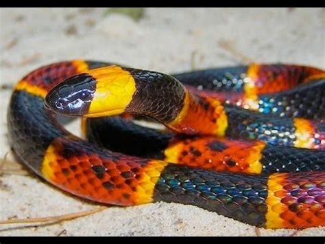florida bite florida recovering following coral snake bite