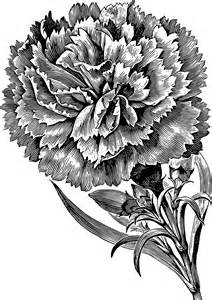 Carnation Picture 10 clipart carnation