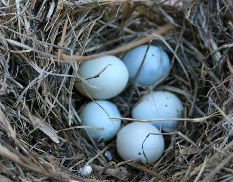 Animal Egg platypus eggs