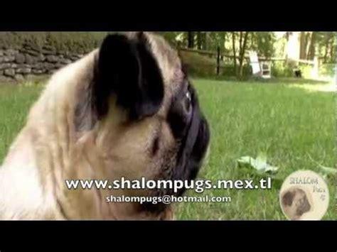 pug 101 animal planet abc canino pug relacionados con abc canino pug
