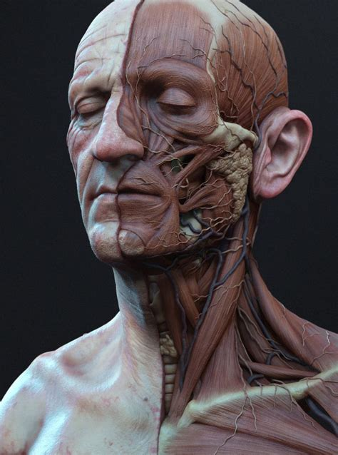 male ecorche human anatomy reference 3d model 3d 25 best ideas about face anatomy on anatomy reference figure drawing tutorial and