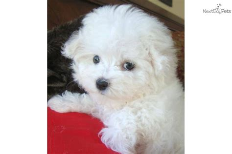 Maltipoo Shed by Malti Poo Maltipoo Puppy For Sale Near Texoma