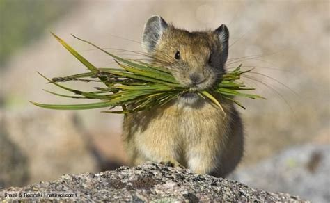 animals carrying food north american pika carrying