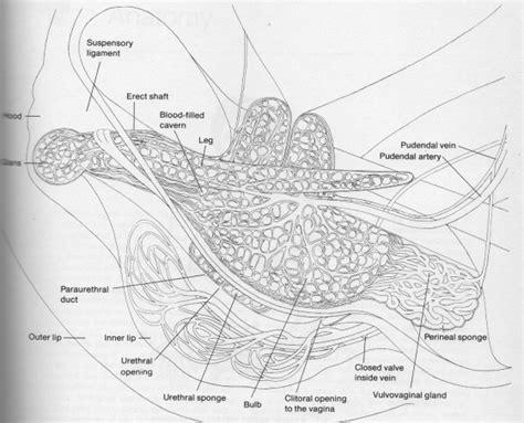 diagram of clitorus anatomy