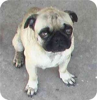 pug rescue oklahoma iggy adopted 2604016 norman ok pug
