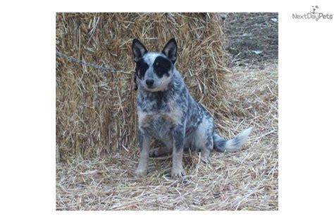 blue heeler puppies oregon australian cattle blue heeler puppy for sale near bend oregon 12972f04 3931