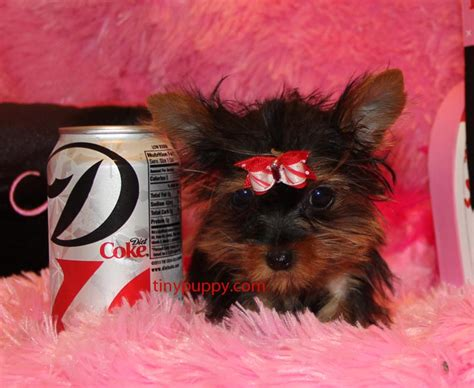 worlds smallest yorkie micro micro world s smallest healthy yorkie puppy sold tinypuppy