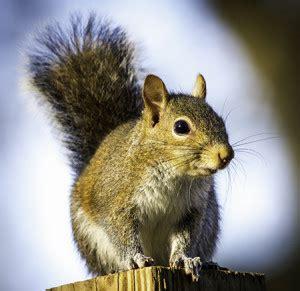 squirrel removal wildlife removal in virginia