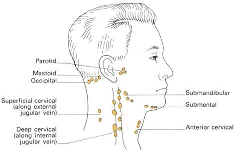 lymph node diagram neck diagram of neck lymph nodes anatomy of lymph nodes