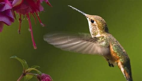 mating habits of hummingbirds welcoming tracking hummingbirds in the hill country