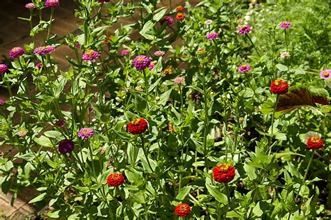 Zinnias Flower Garden Bed 2 187 Jan S Garden