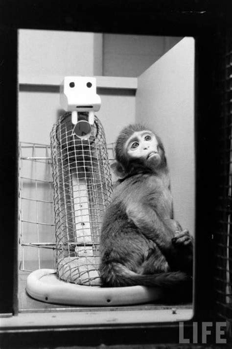 harlow s contact comfort le scimmiette del dottor harry harlow e l amore materno