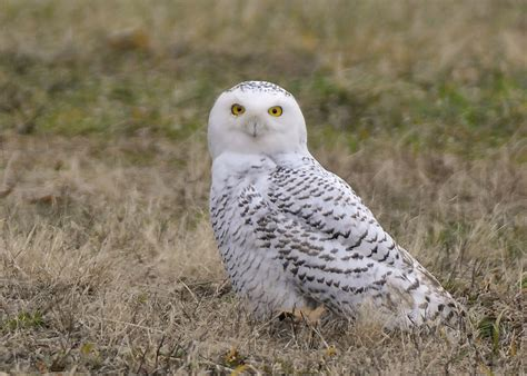 amazoncom snowy owl snowy owl wallpaper and screensavers wallpapersafari