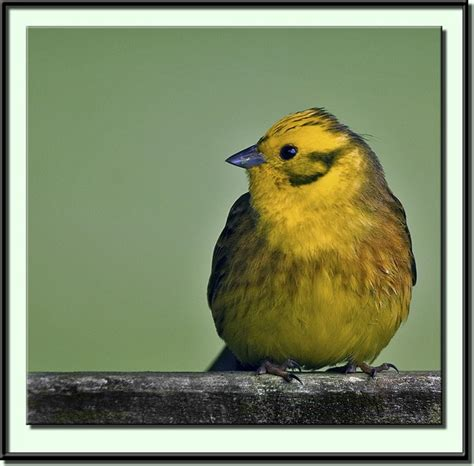 yellowhammer the state bird alabama the beautiful