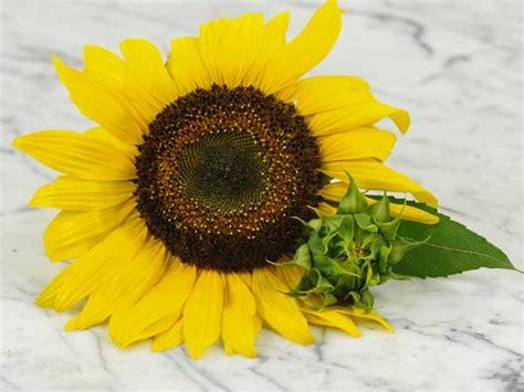 Sun Flower Overall 1 arikara sunflower baker creek heirloom seeds