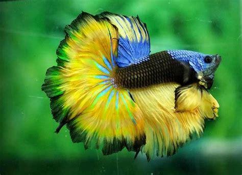 Lu Aquarium Ikan Hias dunia ikan hias jenis ikan hias air tawar aquarium