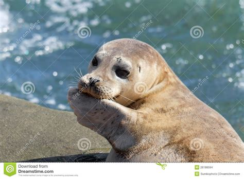 puppy seal seal puppy in la jolla stock images image 26188594