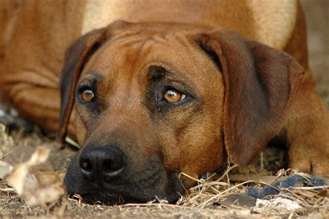 conjunctivitis in dogs conjunctivitis in dogs symptoms causes diagnosis treatment recovery management