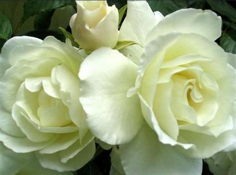 wallpaper bunga ros putih gambar bunga mawar daunbuah com