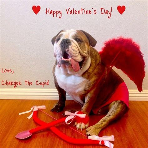 valentines day bulldog happy s day charger englishbulldog