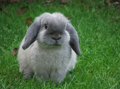 breeds rabbit mini lop rabbit